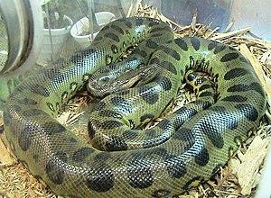 Eaten Alive (TV special) - Green anaconda (''Eunectes murinus'')