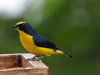 Finch - Ephonias, like this thick-billed euphonia, were once treated as tanagers not finches