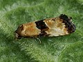 Eupoecilia angustana (40427314625).jpg