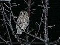 Eurasian Scops-owl (Otus scops) (37199204115).jpg
