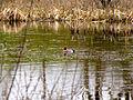 Eurasian Wigeon Marsh.jpg