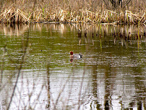 Eurasian wigeon - A male Eurasian wigeon in a marsh along N67, Ireland