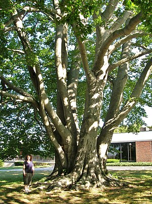 The Newport Daily News - Large European beech in front of The Newport Daily News
