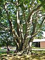 European Beech Tree at The Newport Daily News, Newport, RI - August 29, 2015.jpg