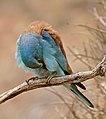 European Roller (Coracias garrulus) preening ... (35664486982).jpg