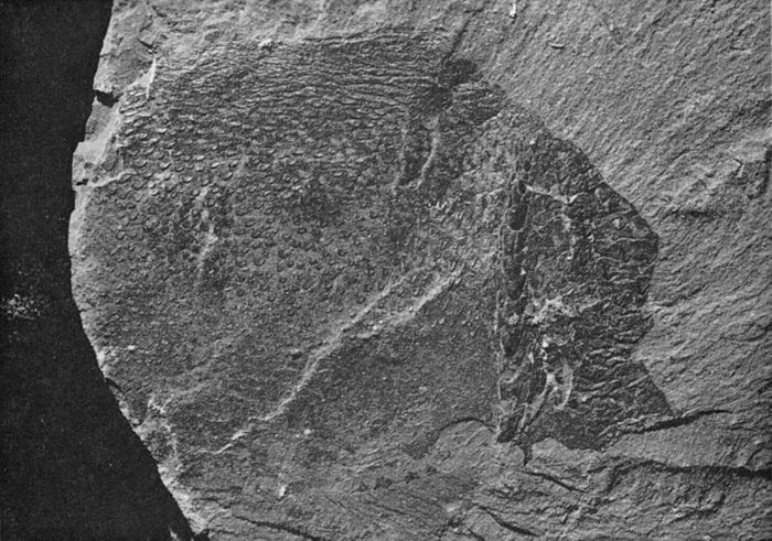 Eurypterids of the Devonian Holland Quarry Shale of Ohio figure 41a.jpg