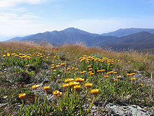 external image 220px-Everlastings_on_MtHotham_Vic.jpg