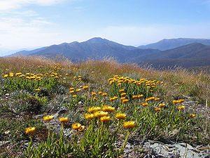 Victorian Alps - Image: Everlastings on Mt Hotham Vic