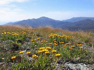 Blick über eine Wiese mit Strohblumen auf dem Mount Hotham hinüber zum Mount Feathertop (Victorian Alps)