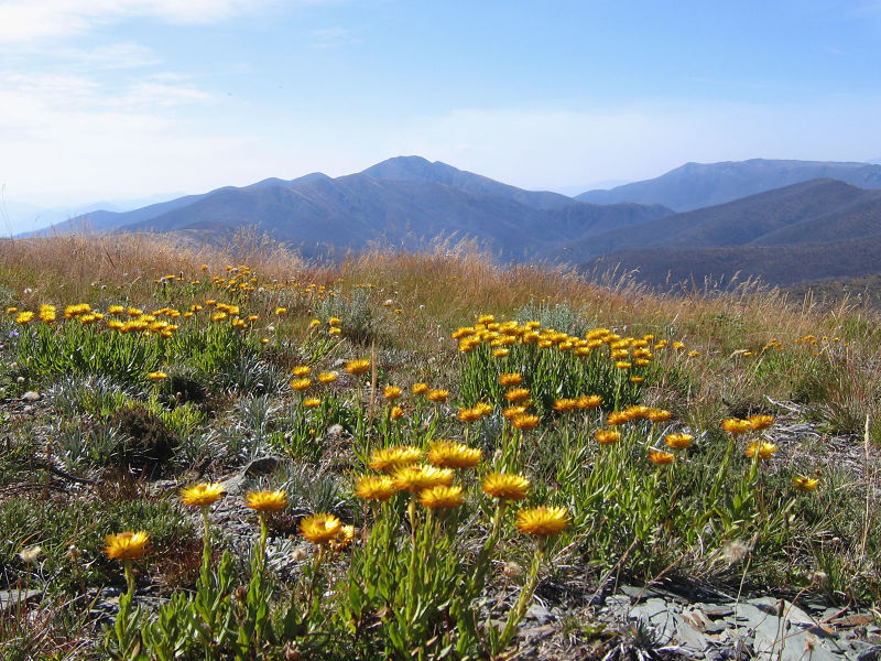 File:Everlastings on MtHotham Vic.jpg