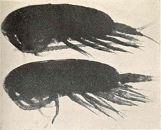 <i>Calanus finmarchicus</i> Species of crustacean