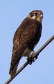 Falco berigora pale 001.png