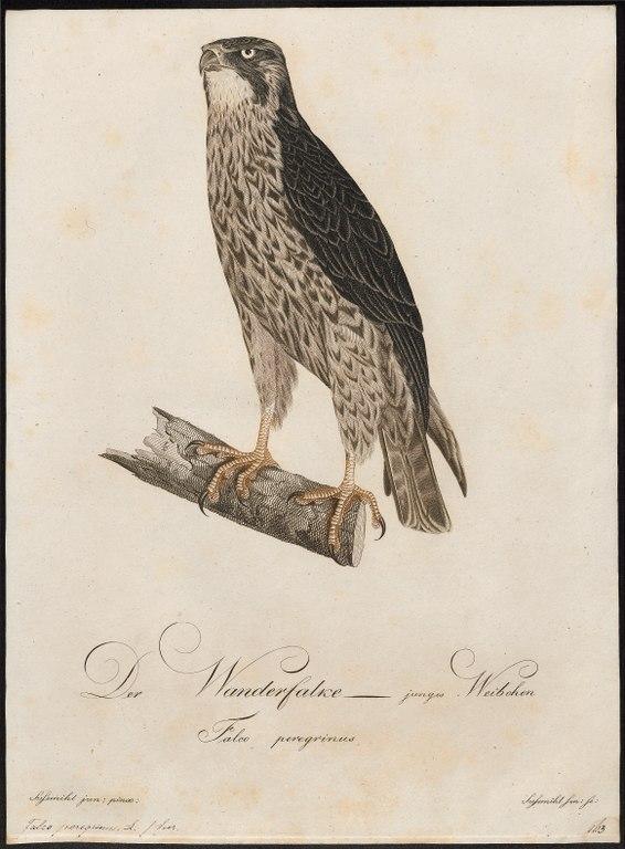 Illustration du faucon pélerin par Johann Conrad Susemihl.