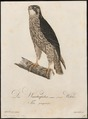 Falco peregrinus - 1800-1812 - Print - Iconographia Zoologica - Special Collections University of Amsterdam - UBA01 IZ18200136.tif