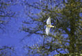 Falco tinnunculus, Aosta Valley, Italy (15292261658).jpg