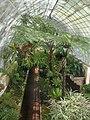 Falgueres a un hivernacle, Jardí Botànic de València.JPG