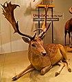 Fallow deer Dama Dama taxidermic IMG 2780.jpg