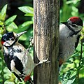 Father Great Spotted Woodpecker with child in our garden in Schaarsbergen - panoramio.jpg
