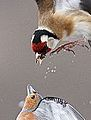 Feeding squabble (8750217597).jpg