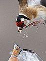 Feeding squabble (8750217597).jpg