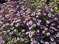 Feeringbury Manor Michaelmas daisy, Feering Essex England 1.jpg