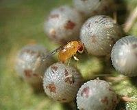 Female of Trichogramma dendrolimi on egg of armyworm (Noctuidae), photo was taken by Dr Victor Fursov.jpg