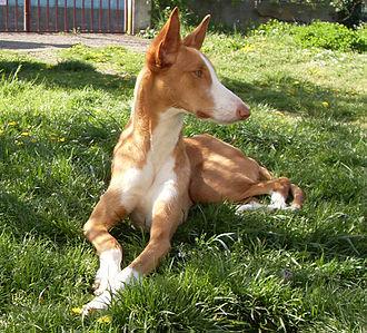 Ibizan Hound - Female Ibizan Hound