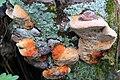 Fenchelporling Gloeophyllum odoratum 5480.jpg