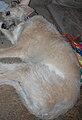 Fergus Irish Wolfhound.jpg