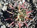 Ferocactus recurvus (5753798963).jpg