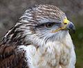 Ferruginous Hawk 3 (4450562315).jpg
