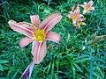 Feuerlilien in der Irlacher Au (1).jpg