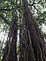 Ficus benghalensis @ Kodungallur India 05.jpg