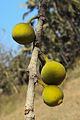 Ficus exasperata 03.JPG