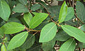 Ficus racemosa.jpg