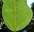Ficus salicifolia, blaarbearing, Universiteit van Pretoria.jpg