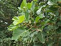 Ficus sycomorus 2 (Brisbane City BG).jpg