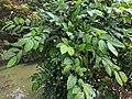 Ficus tinctoria 60.jpg