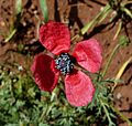 Field poppy. Papaver rhoeas - Flickr - gailhampshire.jpg
