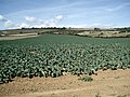 Fields of Cabbages near Mersley Farm - geograph.org.uk - 1453947.jpg