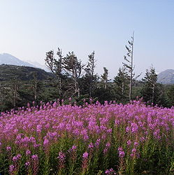 Fireweed on the Klondike Highway, British Columbia 6.jpg