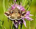 Fjärilar Butterfly (23109880060).jpg