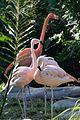 Flamingos at the Brevard Zoo.jpg
