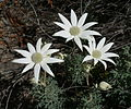Flannel Flowers.jpg