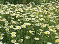 Fleurs blanc2 maroc.JPG