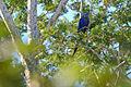 Flickr - ggallice - Hyacinth macaw.jpg