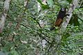 Flickr - ggallice - Saddleback tamarin (1).jpg