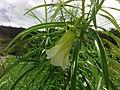 Flor blanca de Thevetia peruviana.jpg