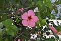 Flor d'hibisc al parc de Montaner, Xàbia.jpg