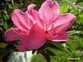 Flor de Azálea (357591306).jpg
